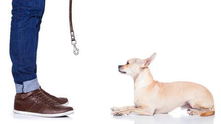 cane chihuahua: chihuahua cane in attesa per una passeggiata con il proprietario, accattonaggio, isolato su sfondo bianco