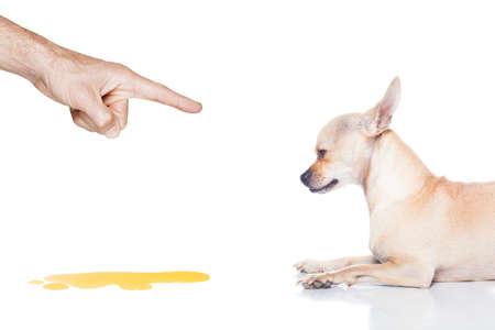 chihuahua dog being punished for urinate or pee  at home by his owner, isolated on white background Stock Photo