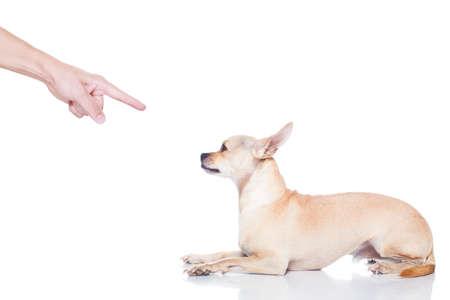 chihuahua hond klaar voor een wandeling met de eigenaar, gestraft door de eigenaar