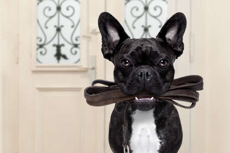 go for: french bulldog dog  waiting a the door at home with leather leash in mouth , ready to go for a walk with his owner