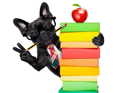 Französisch Bulldog Hund hinter einem Stapel Bücher sehr klug, intelligent, aber mit stummen Nerd Brille, isoliert auf weißem Hintergrund Standard-Bild