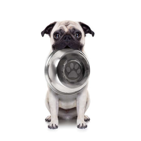 hungry  pug dog holding bowl with mouth , isolated on white background