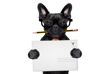 mail delivery french bulldog dog , holding pencil and post envelope, isolated on white background