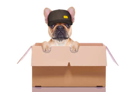 white work: mail  delivery  french bulldog dog inside a big moving box   , isolated on white background