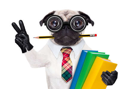 pug puppy: cool  school pug dog, with stack of books and pencil in mouth , victory and peace fingers ,isolated on white background Stock Photo