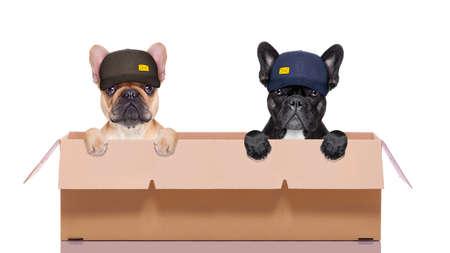 courrier couple livraison ou rangée de chiens dans une grande boîte mobile, isolé sur fond blanc Banque d'images