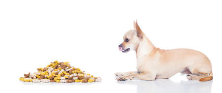 mound: hungry chihuahua dog with mound of food , waiting and looking at it ,  isolated on white background
