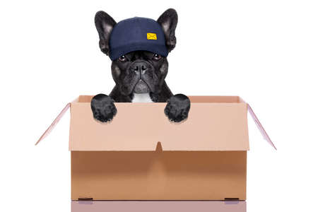 humour: mail  delivery  french bulldog dog inside a big moving box   , isolated on white background