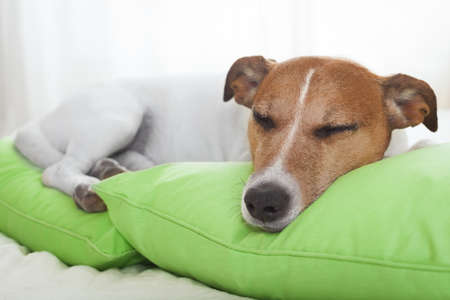 jack russell dog resting or having a siesta on bed in bedroom, eyes closed Stock Photo