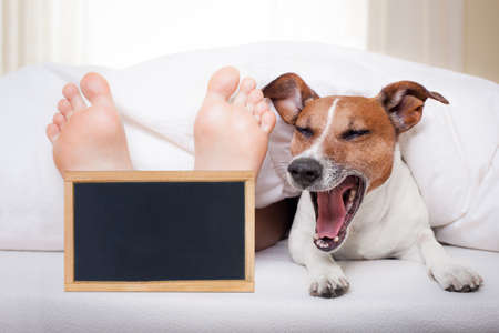 doze: yawning dog in bed with owner under white bed sheet blanket with banner placard, very early in the morning Stock Photo