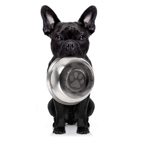 frenchie: hungry  french bulldog  dog holding bowl with mouth ,isolated on white background