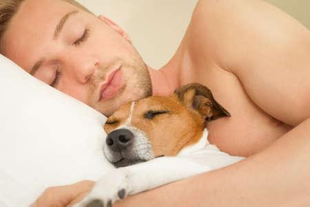 gente durmiendo: perro Jack Russell en reposo o durmiendo cama, soñando con el dueño en el dormitorio juntos Foto de archivo
