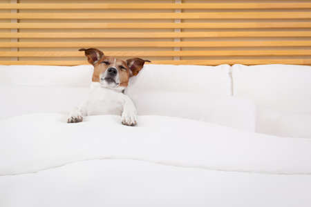 resting: jack russell dog resting or having a siesta on bed in bedroom,  small in a very big bed