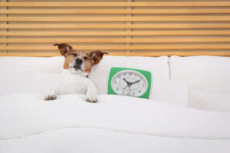 bedroom: jack russell dog resting ,sleeping or having a siesta on bed in bedroom, with a clock , early in the morning