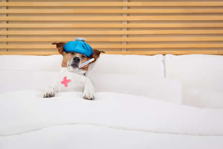 heal sickness: sick and ill jack russell  dog resting  having  a siesta on  bed,   tired and sleepy with fever thermometer