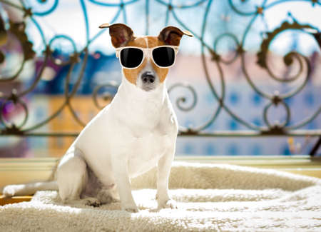 jack russell dog with sunglasses at balcony enjoying the sun and hot weather at summer vacation holidays