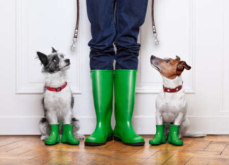 two terrier dogs waiting to go walkies in the rain at the front door at home with owner waiting