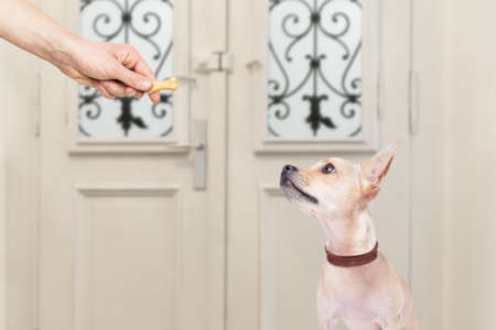 dog biscuit: chihuahua  getting a cookie bone treat for good behavior, dog waiting to go for a walk with owner