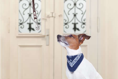 go for: jack russell dog waiting for owner to play  and go for a walk with leash