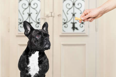 french bulldog getting a cookie bone treat for good behavior, dog waiting to go for a walk with owner