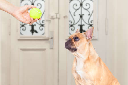hand: french bulldog waiting for owner to play with tennis ball and go for a walk with leash