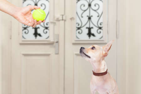 go for: chihuahua dog waiting for owner to play with tennis ball and go for a walk with leash