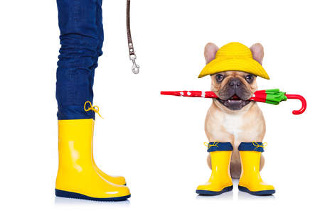 go for: fawn french bulldog sitting and waiting to go for a walk with owner , prepared for rain and dirt,wearing rain boots , holding umbrella with mouth,  isolated on white background