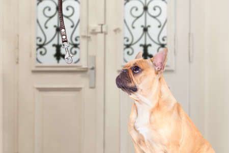 go for: french bulldog waiting for owner to play  and go for a walk with leash Stock Photo