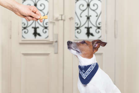 treat: jack russell dog  getting a cookie bone treat for good behavior, dog waiting to go for a walk with owner Stock Photo