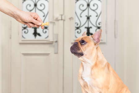 go for: french bulldog getting a cookie bone treat for good behavior, dog waiting to go for a walk with owner