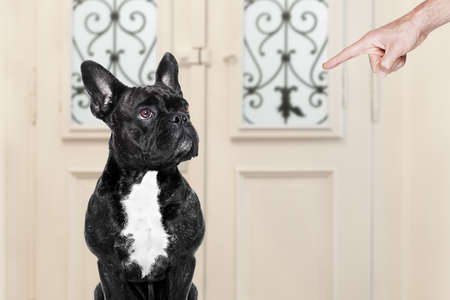 animal screaming: french bulldog being punished by owner for very bad behavior , with finger pointing at dog