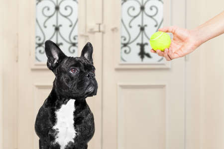 go for: french bulldog waiting for owner to play with tennis ball and go for a walk with leash