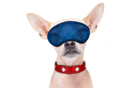 overslept: chihuahua dog  resting ,sleeping or having a siesta  with  eye mask, isolated on white background