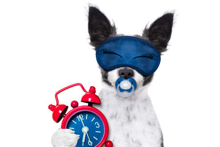 chihuahua dog  resting ,sleeping or having a siesta  with   alarm clock and eye mask, and pacifier, isolated on white background Imagens