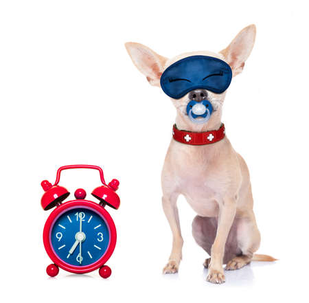 overslept: chihuahua dog  resting ,sleeping or having a siesta  with   alarm clock and eye mask, and pacifier, isolated on white background Stock Photo
