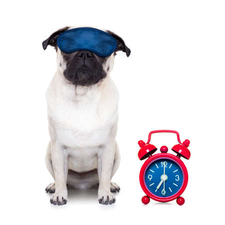 overslept: pug  dog  resting ,sleeping or having a siesta  with  alarm clock and eye mask, isolated on white background Stock Photo
