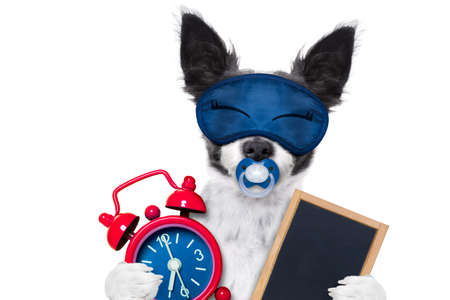 overslept: chihuahua dog  resting ,sleeping or having a siesta  with   alarm clock and eye mask, and pacifier, with banner placard, blackboard, isolated on white background Stock Photo