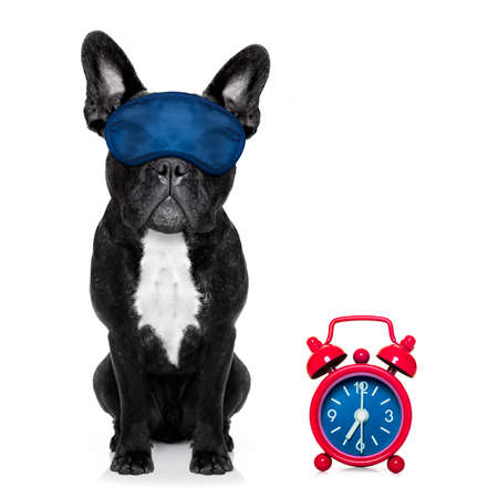 overslept: french bulldog dog  resting ,sleeping or having a siesta  with alarm  clock and eye mask, isolated on white  background