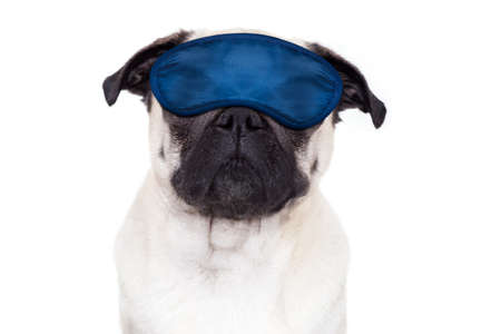 overslept: pug  dog  resting ,sleeping or having a siesta  with eye mask, isolated on white background