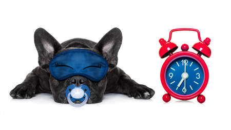 overslept: french bulldog  dog  resting ,sleeping or having a siesta  with  alarm  clock and eye mask, isolated on white background Stock Photo