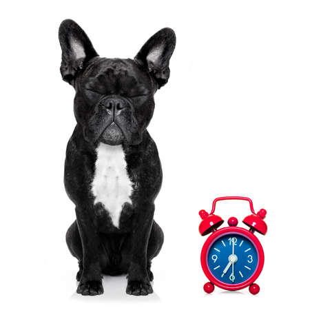 overslept: french bulldog dog  resting ,sleeping or having a siesta  with alarm  clock , isolated on white  background