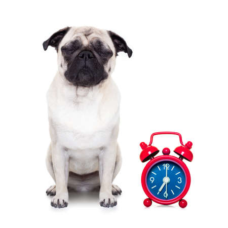 overslept: pug  dog  resting ,sleeping or having a siesta  with alarm  clock ,isolated on white  background Stock Photo