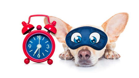 overslept: chihuahua dog  resting ,sleeping or having a siesta  with a clock and eye mask