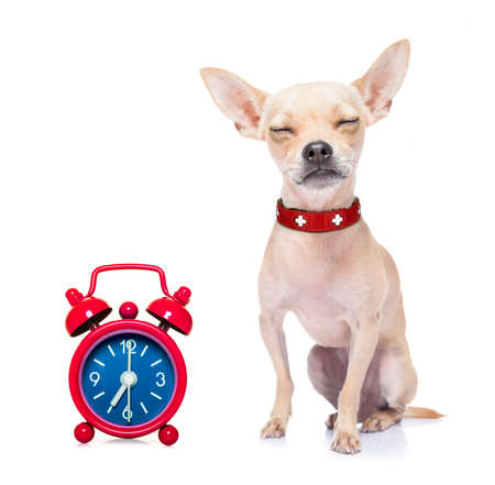 overslept: chihuahua dog  resting ,sleeping or having a siesta  with  alarm clock , isolated on white background Stock Photo