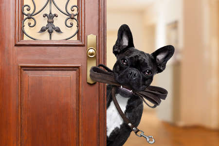 french doors: french bulldog dog  waiting a the door at home with leather leash in mouth , ready to go for a walk with his owner