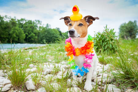 plastik: jack russell dog relaxing and resting on summer vacation holidays with flower chain and plastik rubber duck on the head, at the river shore