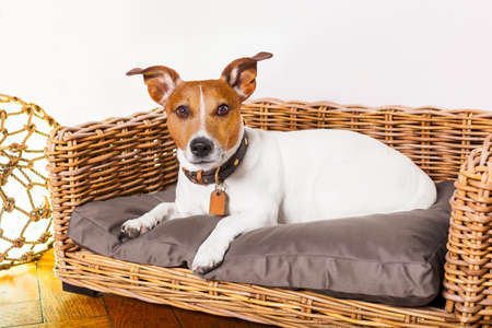 siesta: jack russell dog resting or having a siesta  in  bed in bedroom or livingroom