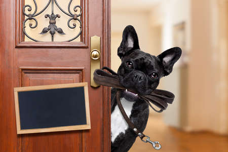 master: french bulldog dog  waiting a the door at home with leather leash in mouth , ready to go for a walk with his owner