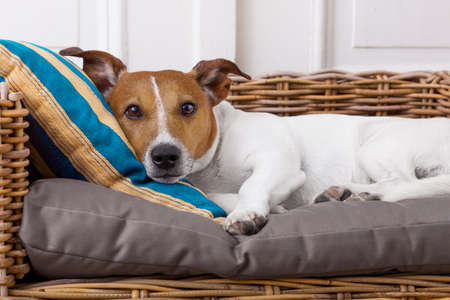 comfortable: jack russell terrier dog  in bed , having a siesta and relaxing Stock Photo