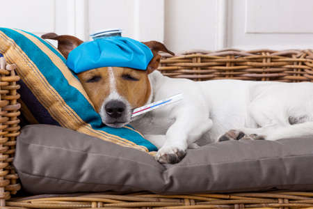 cold: sick and ill jack russell  dog resting  having  a siesta upside down on his bed with his teddy bear,   tired and sleepy Stock Photo